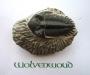 Trilobiet (USA) 5 cm