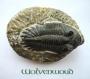 Trilobiet (USA) 7 cm
