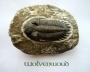 Trilobiet (USA) 6,5 cm